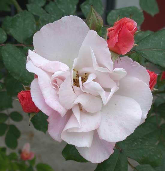 Rosa Clair Matin.